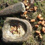 North American Indian Recipes –  Acorn Recipes & Facts!